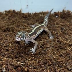 Gecko de Bandas do Yucatán