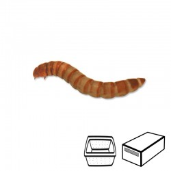 Larvas de Tenebrio