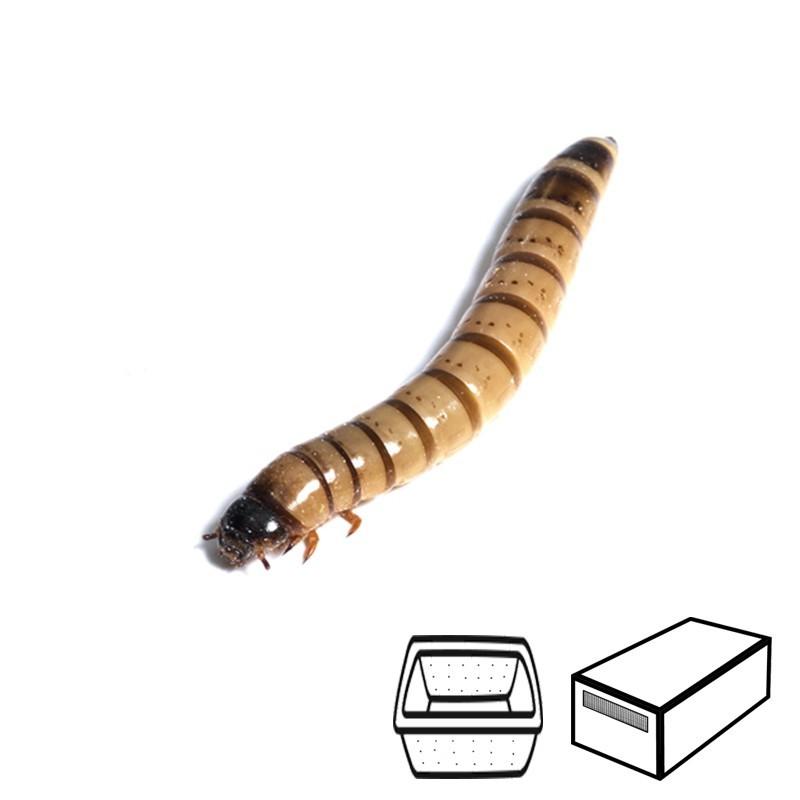 Larvas de Zophoba