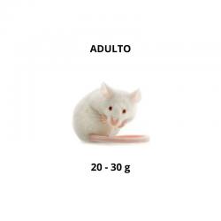 Rato - Adulto